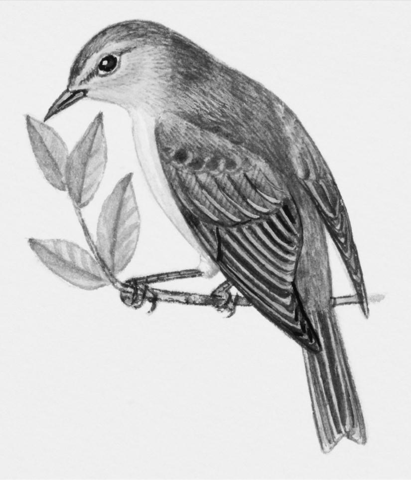 Kuş çizimleri Karakalem Kuş çalışmaları
